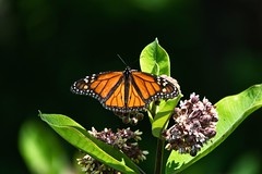 Monarch butterfly on a milkweed plant (ABWphoto!) Tags: usa virginia shenandoahnationalpark woods butterfly insect monarch milkweed nature outdoors forest