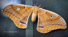 Mothra (Kool Cats Photography over 12 Million Views) Tags: luminar artistic canon6d canon24105mmf4lislens canon colorful edmond insect macro moth outdoors photography windows