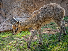 Little Rock Jumper (helenehoffman) Tags: africa oreotragusoreotragus wildlife herbivore bovidae antelope sandiegozoo conservationstatusleastconcern nocternal mammal klipspringer ungulate animal fantasticnature coth alittlebeauty specanimal coth5