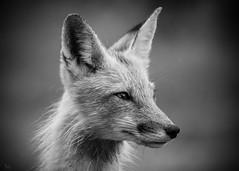Red Fox - b & w (NicoleW0000) Tags: redfox fox wild animal mammal wildlife wildlifephotography nature naturephotography portrait blackwhite canon canada outside blackandwhite