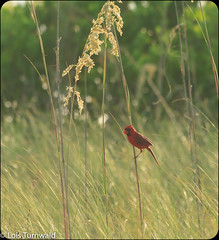 Perched in the Light - HWW (11Jewels) Tags: canon 70300 cardinal bird morninglight fortdesotopark pinellascounty florida