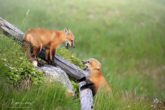 Better Together (Megan Lorenz) Tags: redfox fox foxkit kit babyanimals animal mammal nature wildlife wild wildanimals playing fighting action siblings newfoundland canada mlorenz meganlorenz