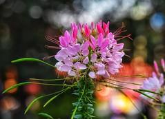 Bokeh! (Nina_Ali) Tags: bokeh flower nature flora vibrant depthoffield backlight