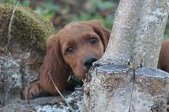 Baby Irish Setter (lctsim) Tags: baby irish setter dog pet small cute tree nature animal color
