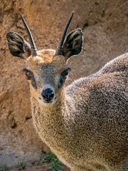 Klipspringer Portrait (helenehoffman) Tags: africa oreotragusoreotragus wildlife herbivore bovidae antelope sandiegozoo conservationstatusleastconcern nocternal mammal klipspringer ungulate animal alittlebeauty coth specanimal coth5 specanimalphotooftheday