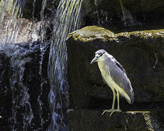 02469376422780-115-19-08-Black-Crowned Night Heron-21 (You have failed me for the last time Jim) Tags: 2019 america august blackcrownednightheron canon5dmarkiv lasvegas nevada tamronsp150600mmf563divcusdg2 animal bird pond water waterfall