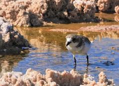 Life Bird 2: Puna Plover (Ruby 2417) Tags: plover puna bird wildlife nature shorebird rare rarity life lifer atacama chile salt mud salar