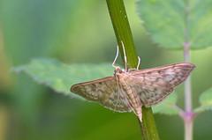 Nõgeseleedik; Patania ruralis; Mother of Pearl (urmas ojango) Tags: lepidoptera liblikalised insecta putukad insects moth leediklased pyralidae nationalmothweek nõgeseleedik pataniaruralis motherofpearl