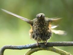 Buff-tailed Coronet (Boissonneaua flavescens) Juvenile (Luis G. Restrepo) Tags: trochilidae p3970521 colibríchupasavia bufftailedcoronet boissonneauaflavescens hummingbird ave bird birdwatching ríoblanco manizales caldas colombia southamerica