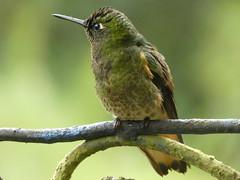Buff-tailed Coronet (Boissonneaua flavescens) (Luis G. Restrepo) Tags: trochilidae p3970529 colibríchupasavia bufftailedcoronet boissonneauaflavescens hummingbird ave bird birdwatching ríoblanco manizales caldas colombia southamerica