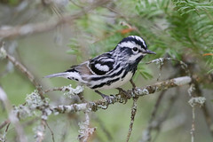 Black-and-white Warbler (Alan Gutsell) Tags: blackandwhitewarbler black white warbler michigan upper peninsula alan nature birds birding photography canon june breeding summer wildlife statepark tahquamenonfalls camera