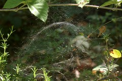 Dome web in the woods (Treebeard) Tags: spider dome web filmydomespider nerieneradiata sierradomespider nerienelitigiosa linyphiidae sanmarcospass santabarbaracounty california