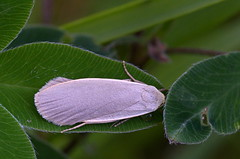 Hallsambliklane; Collita griseola; Dingy Footman (urmas ojango) Tags: lepidoptera liblikalised insecta insects putukad moth nationalmothweek erebidae arctiinae hallsambliklane collitagriseola dingyfootman ebaöölased