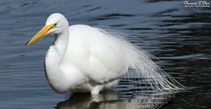 Lather. Rinse. Repeat. (Shannon Rose O'Shea) Tags: shannonroseoshea shannonosheawildlifephotography shannonoshea shannon greategret egret bird beak white feathers wings breedingplumage lores water bluewater ardeaalba alligatorbreedingmarshandwadingbirdrookery gatorland orlando florida gatorlandbirdrookery rookery outdoors outdoor outside colorful colourful colors colours flickr wwwflickrcomphotosshannonroseoshea smugmug nature wildlife waterfowl wading wadingbird camera art photo photography photograph wild wildlifephotography wildlifephotographer wildlifephotograph femalephotographer girlphotographer womanphotographer shootlikeagirl shootwithacamera throughherlens closeup close canon canoneos80d canon80d canon100400mm14556lisiiusm eos80d eos 80d 80dbird canon80d100400mmusmii 2019 1702 ngc