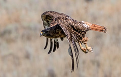 0P6A7427 Redtail Hawk (edhendricks27) Tags: hawk redtail wildlife animal nature canon
