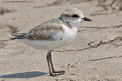 Snowy Plover 16-1211 (Hans Spiecker Photography) Tags: california coaloilpoint snowyplover