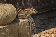 In perfect mood.... (Lopamudra !) Tags: lopamudra lopamudrabarman lopa murshidabad india westbengal squirrel animal sunshine sunlight lightandshade beauty beautiful