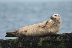 Common Seal (jamiemcd17) Tags: seal commonseal wild wildlife mammal sea nature nikon