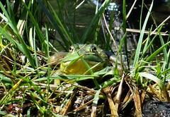 Wednesday's frog (EcoSnake) Tags: americanbullfrog lithobatescatesbeiana frogs amphibians hiding august summer idahofishandgame naturecenter