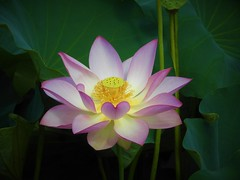Flower (Jeong Kab Cheol) Tags: lotus blossom flower nature nikon plants heart pink photo
