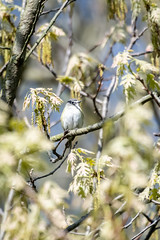 Blue-headed Vireo (blokfam9739) Tags: birds blueheadedvireo northamericanbirds vireosolitarius vireonidae vireos