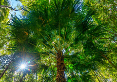 Cabbage palm/Livistona australis (NettyA) Tags: arecaceae australia bellthorpenationalpark cabbagepalm livistonaaustralis qld queensland sunshinecoast bushwalk fanpalm forest green palmtree rainforest seqld sun sunburst sunstar trees