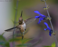Ruby Throated Hummingbird (Arvo Poolar) Tags: outdoors ontario canada scarborough rosettamcclaingardens arvopoolar nikond500 bird nature naturallight natural naturephotography wings rubythroatedhummingbird inflight flowers