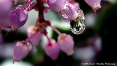 Waterdrop on Manzanita blossom (Jerry Hamblen) Tags: manzanita shrub blossoms snow leaves melt