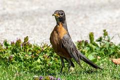 209A5911_American robin_ST (Sergey Tishin) Tags: american robin ontario wildlife bird