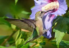 Ruby-throated Hummingbird (ctberney) Tags: archilochuscolubris rubythroated hummingbird tiny quick bird flying hovering roseofsharon flower garden backyard nature ontario canada