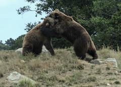 Bear Hug (charlottes flowers) Tags: bears oaklandzoo zoo animals
