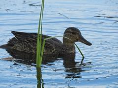 fullsizeoutput_2df (enter SAIDMAN) Tags: alaska anchorage agua water azul naturaleza nature duck ducks birds aves pato patos