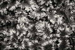 melbourne-4602-ps-w (pw-pix) Tags: leaf leaves plant plants acanthus bearsbreeches shint lustre lustrous sheen contrast texture parliament government stateparliament office offices building garden planting courtyard shiny downatthegovernmentcentre jonathanrichmanandthemodernloversjoke bw blackandwhite monochrome toned springstreet cbd melbourne victoria australia peterwilliams pwpix wwwpwpixstudio pwpixstudio