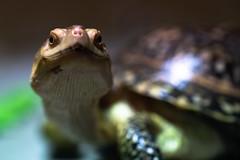 Blanding Turtle 01 (cypher40k Photography) Tags: 105 animal animals blandingturtle color colour macro nikon nikond500 reptilezoo reptilia shell turtle whitby wildlife zoo