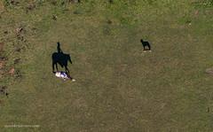Horseman and his dog. (Petoskey Drones) Tags: aerial drone dji mavic horse animal vertical above grass dog