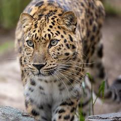 Satka - So Lovely, So Leopard (Penny Hyde) Tags: amurleopard bigcat leopard sandiegozoo