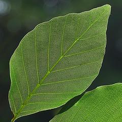 Leaf (hermann.kl) Tags: blatt leaf grün green gegenlicht backlight