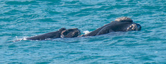 Southern Right Whale Mother and Calf. (robdownunder) Tags: a7r3 southernrightwhales fe2xtc fe200600 whales southaustralia australia