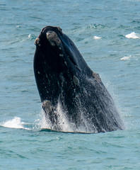 Southern Right Whale Mother breaching (robdownunder) Tags: a7r3 southernrightwhales fe2xtc fe200600 whales southaustralia australia