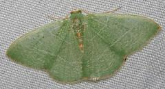 Emerald, Nemoria festaria, Cave Creek Ranch, Portal, AZ (Seth Ausubel) Tags: az moth geometridae geometrinae
