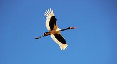 Saddle-Billed Stork (Lachlan.Mulhearn) Tags: ephippiorhynchus senegalensis saddlebill saddle billed stork wetland bird birding kruger national park south africa african