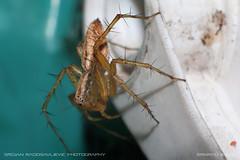 Balancing (Oxyopidae - Lynx spider) (srkirad) Tags: animal insect spider oxyopidae lynxspider closeup macro bokeh blur dof depthoffield manualfocus manual helios 442 m42 macrotube hair hairy outside nature