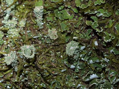 Moss and lichen (5 of 6) (Boobook48) Tags: moss lichen liverwort cladonia linton victoria