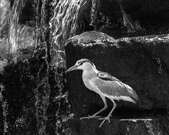 02469376422783-115-19-08-Black-Crowned Night Heron-24-Black and White (You have failed me for the last time Jim) Tags: 2019 america august blackcrownednightheron canon5dmarkiv lasvegas nevada tamronsp150600mmf563divcusdg2 animal bird pond water monochrome blackandwhite