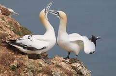 Lovey dovey (jpotto) Tags: uk yorkshire bempton rspb bird birds gannet