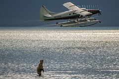 We'll always have Paris (Tom Fenske Photography) Tags: bear water alaska plane grizzly brownbear katmai lake nature standing wildlife scenic wilderness floatplane brooksfalls naknek brookscamp brookslodge fatbear pntoon