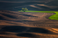 Tree Change (Maxwell Campbell) Tags: tree wheat hills palouse washington america usa landscape minimal minimilist