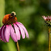Echinacea and Bumble Bee