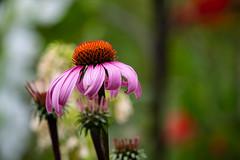 Echinacea (dsgetch) Tags: echinacea echincaceaflower flower summerflowers summerflower bokeh gardenbokeh bokehlicious depthoffield dof depth cascadia pnw pacificnorthwest pnwlife ranch ranchlife rural countrylife oregon lanecounty