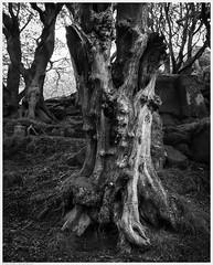 _DSC2621-Enhanced (alexcarnes) Tags: roaches hen cloud leek staffordshire tree alex carnes alexcarnes nikon d850 sigma 28mm f14 art